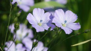 Fleur de lin - être fleur bleue Comment consommer les graines de lin, super pouvoirs du lin